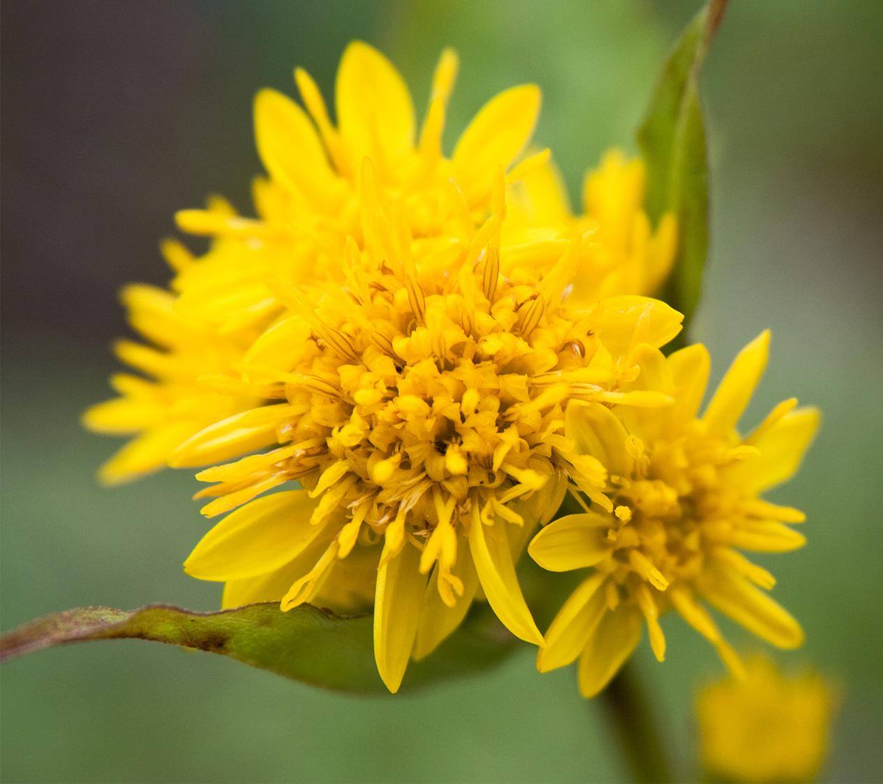 Fall flowers goldenrod mightylinksfo